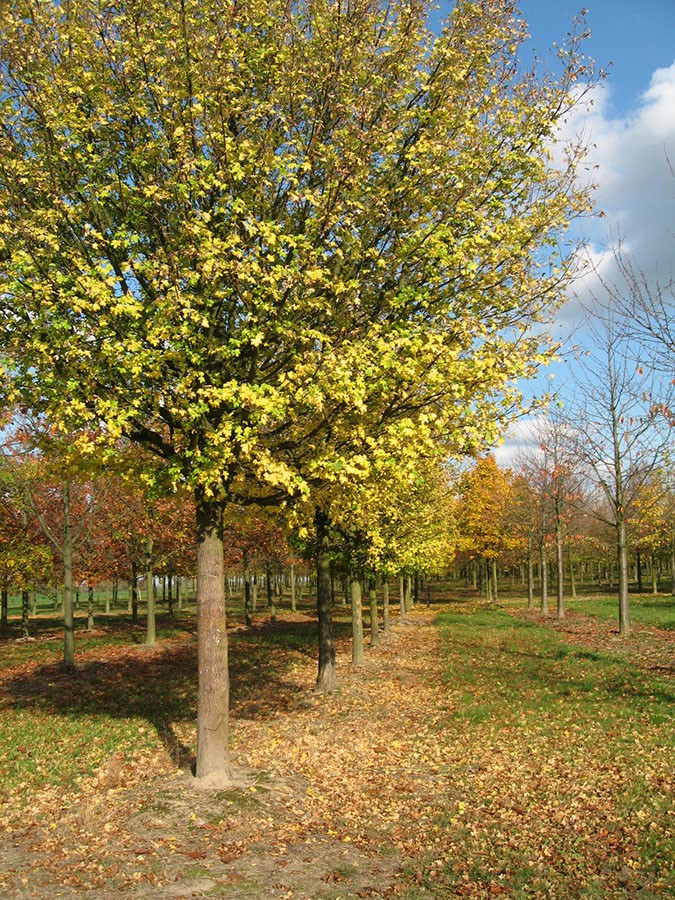 Field Maple Acer Campestre Chew Valley Trees