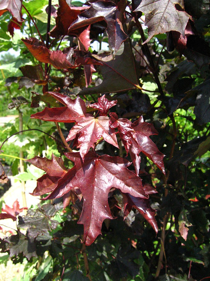 Purple Leaved Norway Maple Acer Platanoides Crimson King Chew - Norway maple crimson king