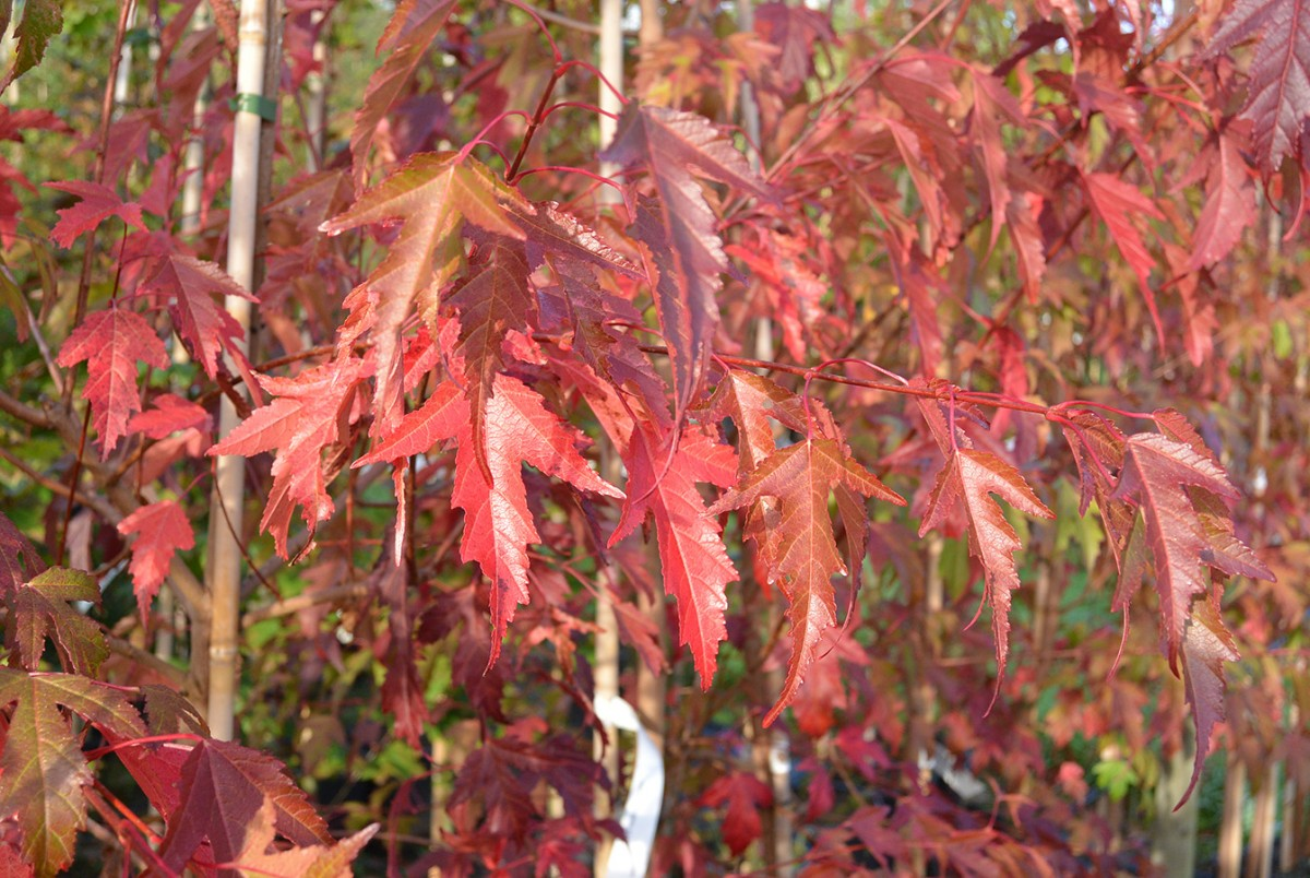 Flame Amur Maple Acer Tataricum Ginnala Flame Chew Valley Trees