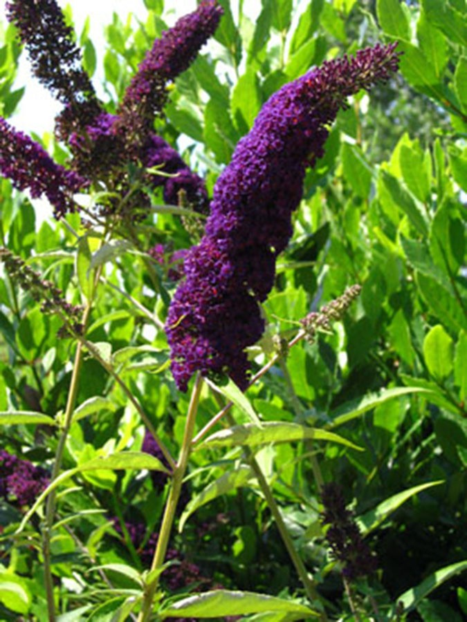 butterfly bush buddleia davidii black knight chew valley trees. Black Bedroom Furniture Sets. Home Design Ideas