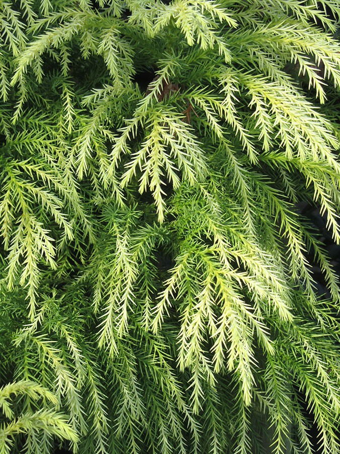 Small Cedar Tree Varieties ~ Japanese red cedar cryptomeria japonica sekkan sugi
