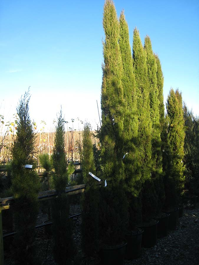 Italian Cypress - Cupressus sempervirens Totem « Chew Valley Trees