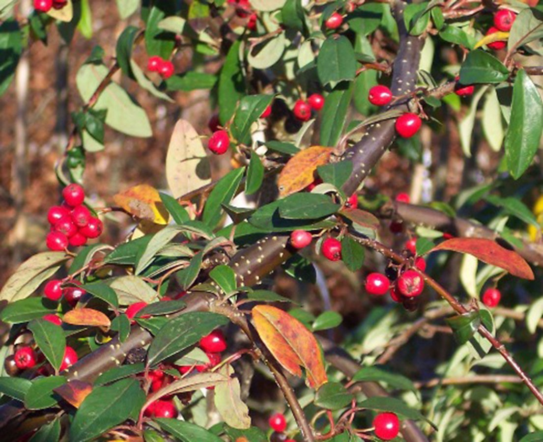 weeping cotoneaster cotoneaster hybridus pendulus chew