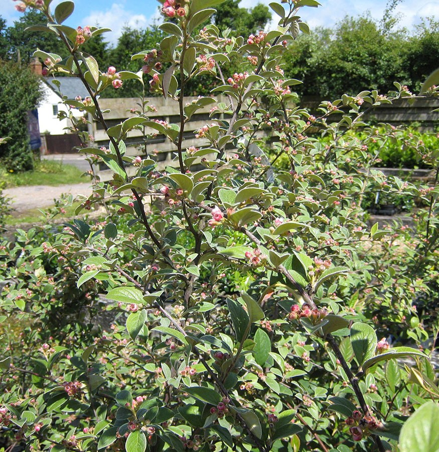cotoneaster cotoneaster franchetii chew valley trees
