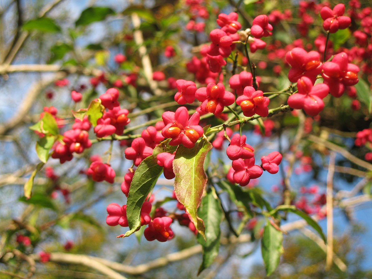 Spindle Euonymus Europaeus 171 Chew Valley Trees