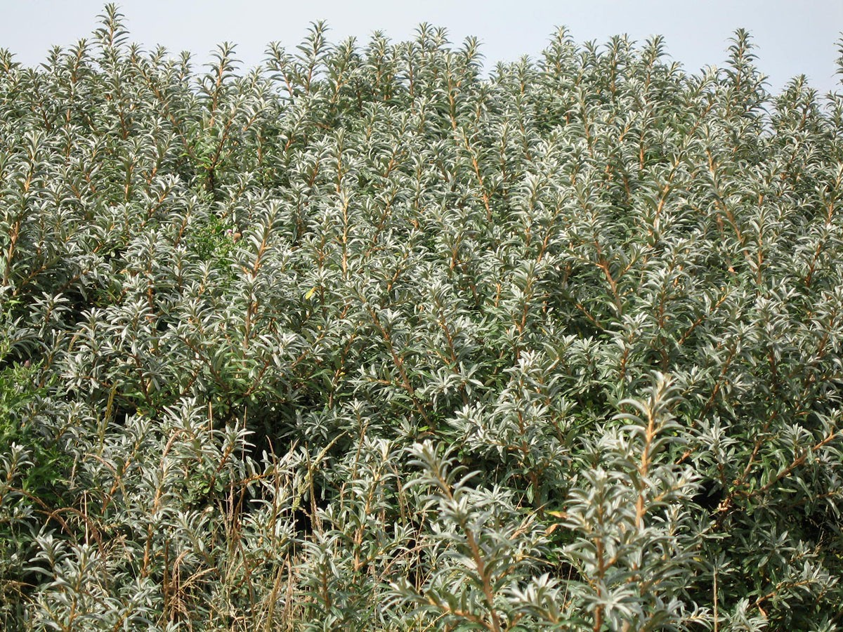Sea buckthorn hippophae rhamnoides chew valley trees - Growing sea buckthorn ...