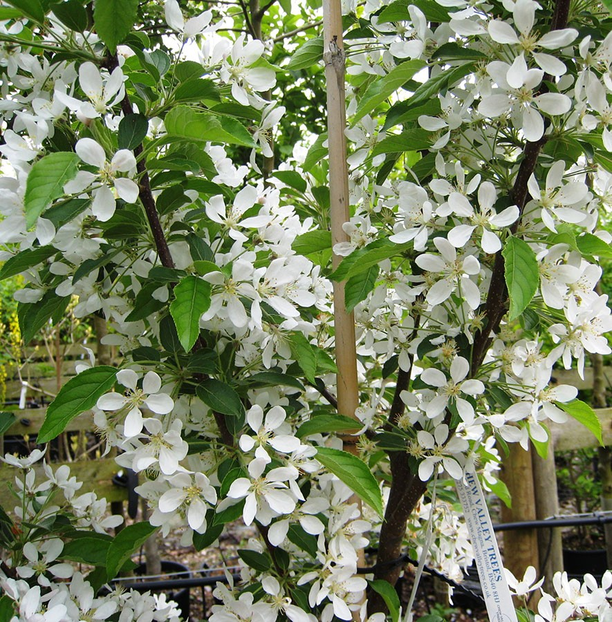Crab Apple Malus White Star Chew Valley Trees