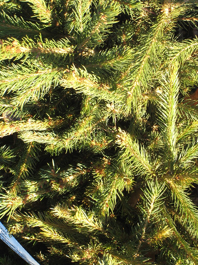 Picea Spruce Chew Valley Trees
