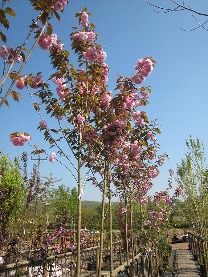 Do Cherry Trees Have Invasive Roots Thriving Yard