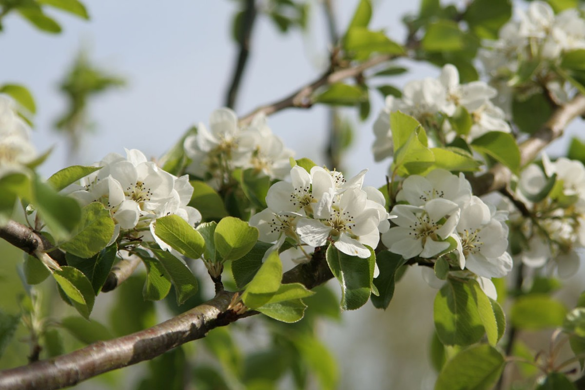 Wild Pear - Pyrus Communis - Chew Valley Trees