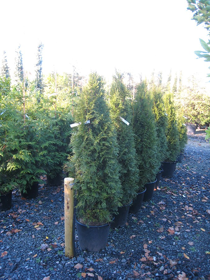 emerald arborvitae thuja occidentalis smaragd chew valley trees. Black Bedroom Furniture Sets. Home Design Ideas