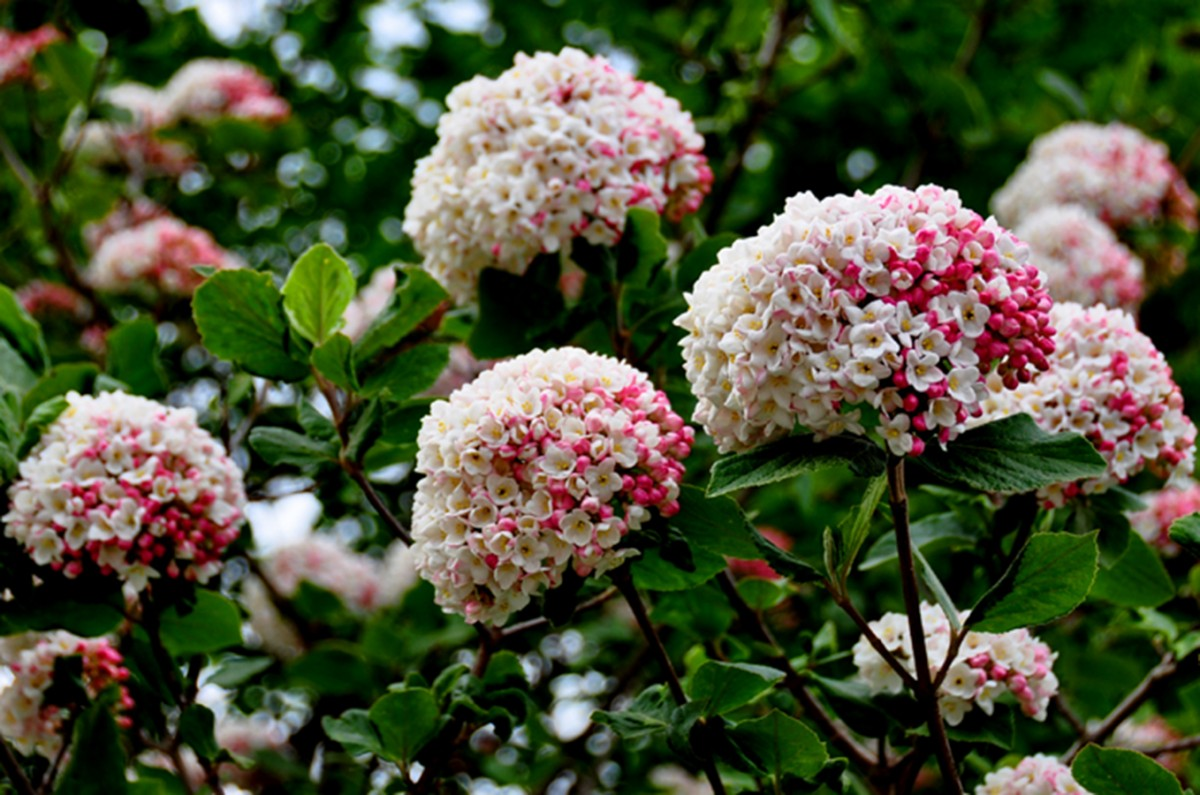 Flowering viburnum viburnum carlesii chew valley trees example photos only size stem height and habit may vary please contact us for photos of current stock mightylinksfo