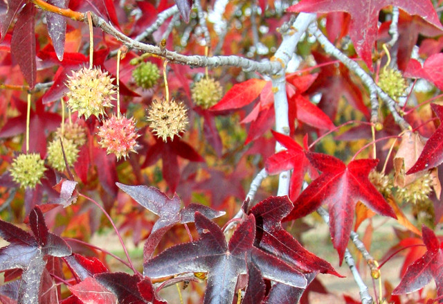 tree of the month liquidambar styraciflua worplesdon sweet gum blog chew valley trees. Black Bedroom Furniture Sets. Home Design Ideas