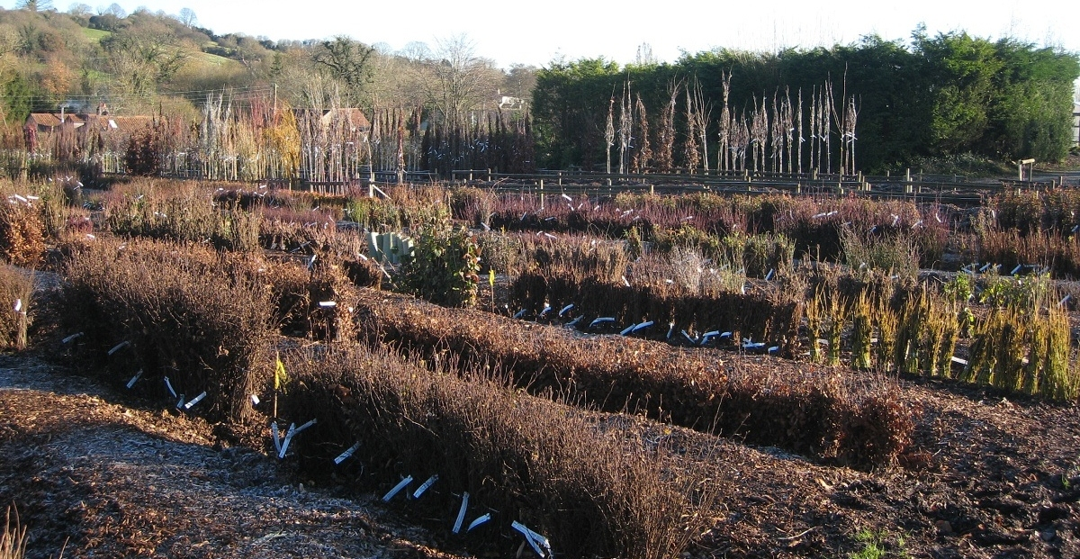 Bare root trees and hedging at the nursery
