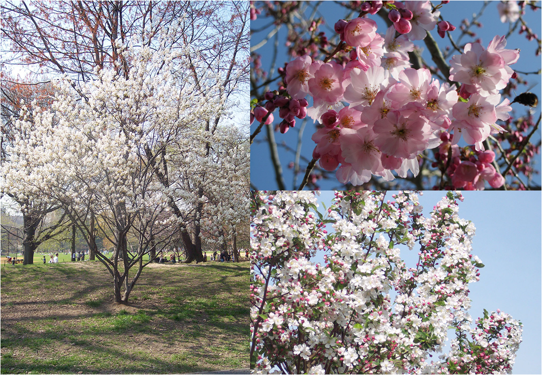 Clockwise from left: Amelanchier lamarckii, Prunus 'Accolade', Malus 'Evereste'