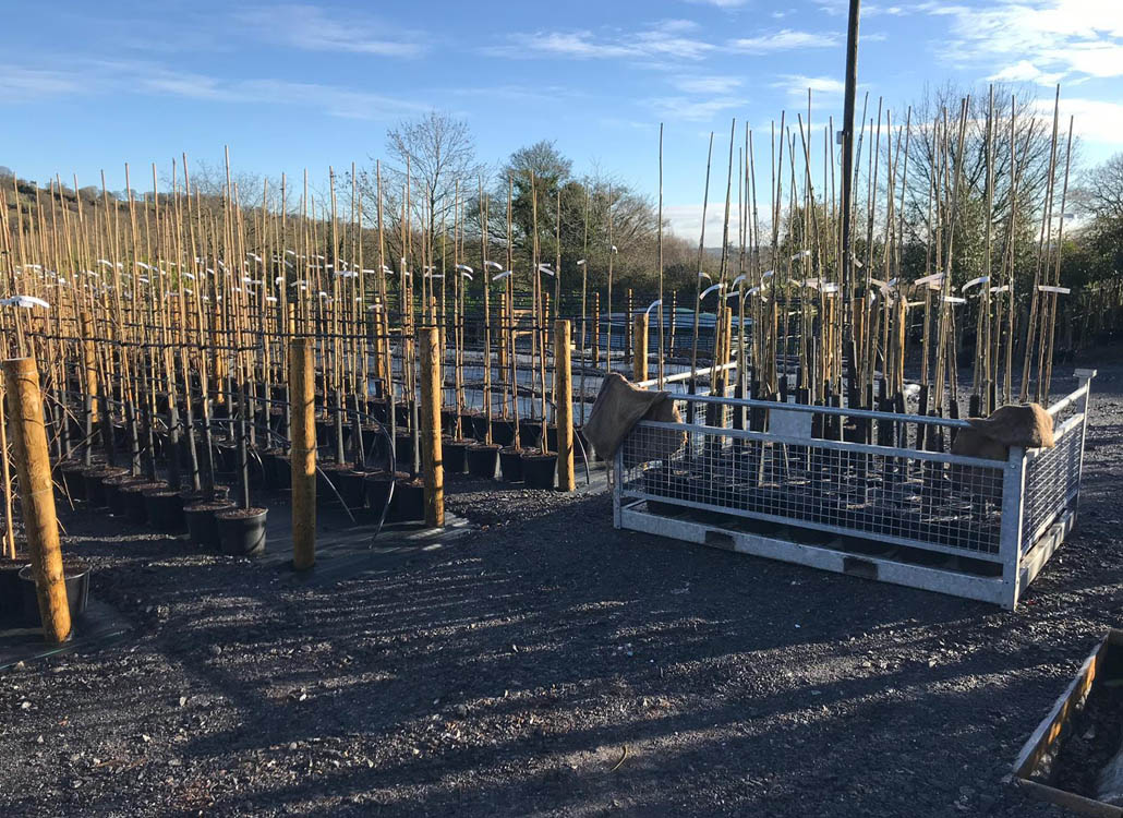 Potted trees, all tied into canes and then moved onto our irrigation system