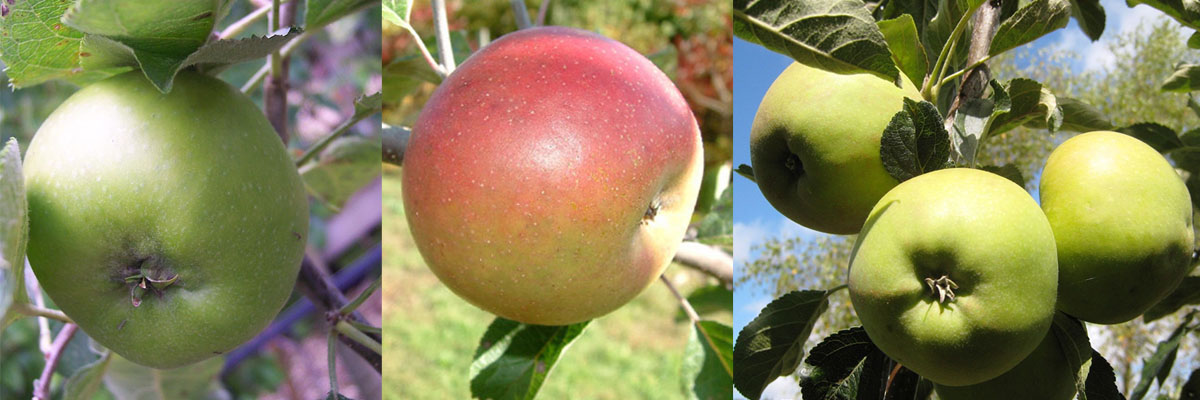 Left-right: Bramley, Dunkerton Late Sweet, Winter Gem
