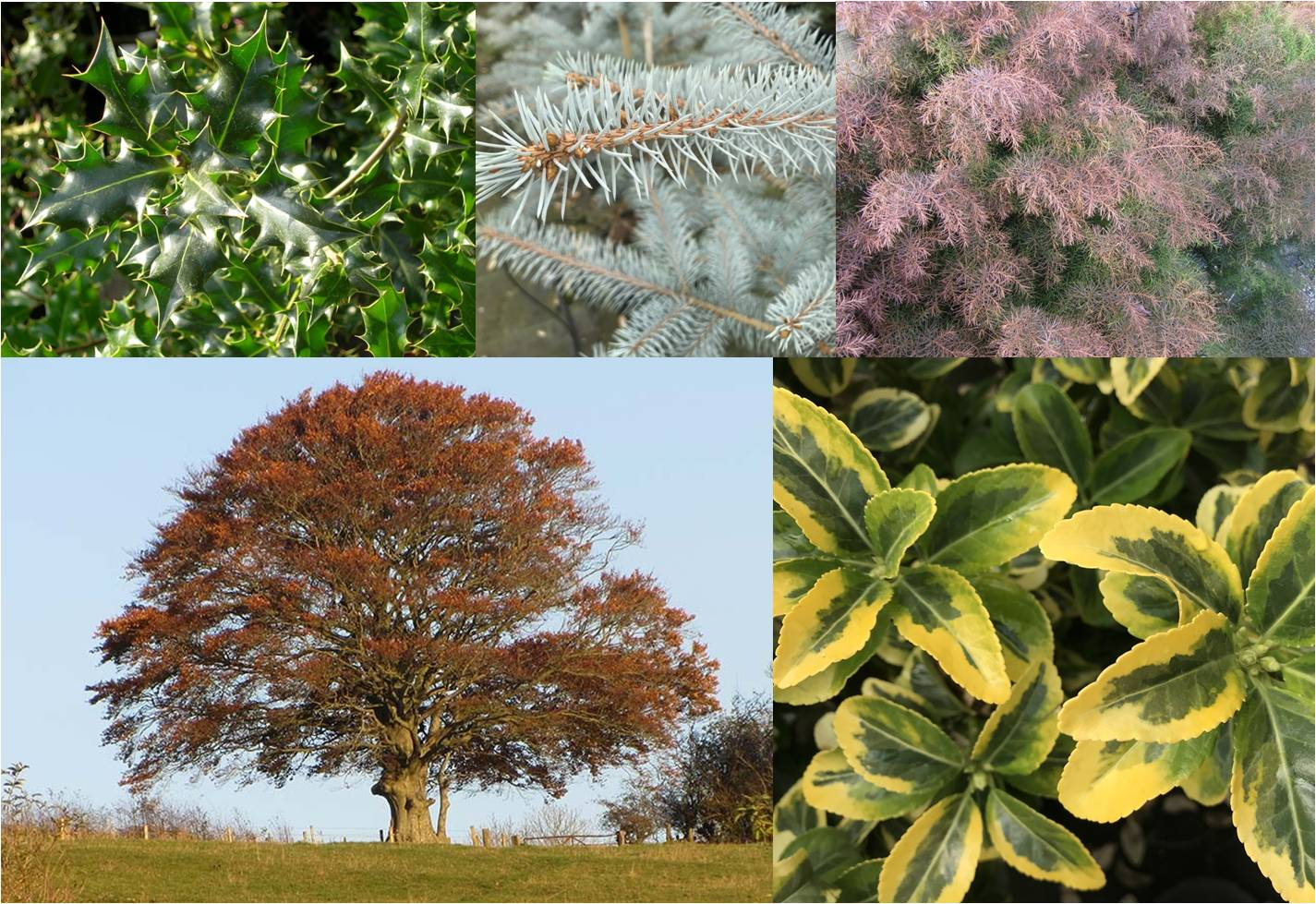Clockwise from top left: common holly, Colorado blue spruce, Japanese red cedar, Japanese spindle 'Aureus', beech