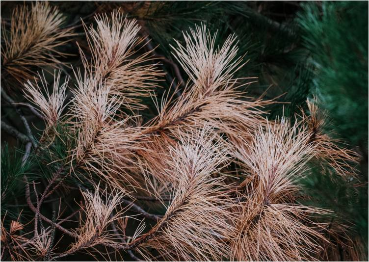 If your new pine tree looks like this all over, it could be on its way out