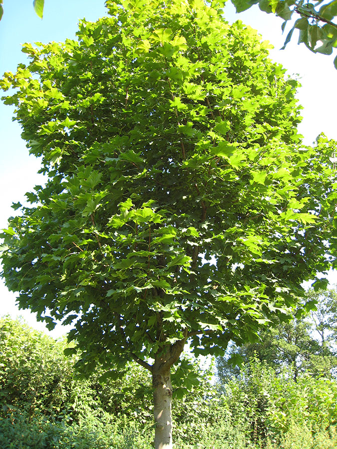 norway maple acer platanoides chew valley trees On arce platanoide