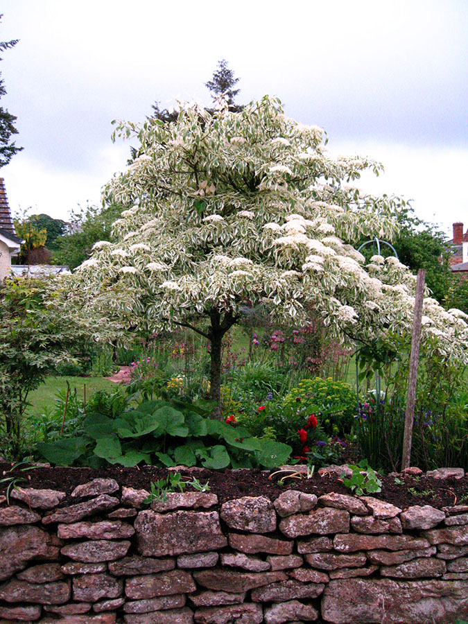 wedding cake tree cornus controversa variegata chew valley trees. Black Bedroom Furniture Sets. Home Design Ideas
