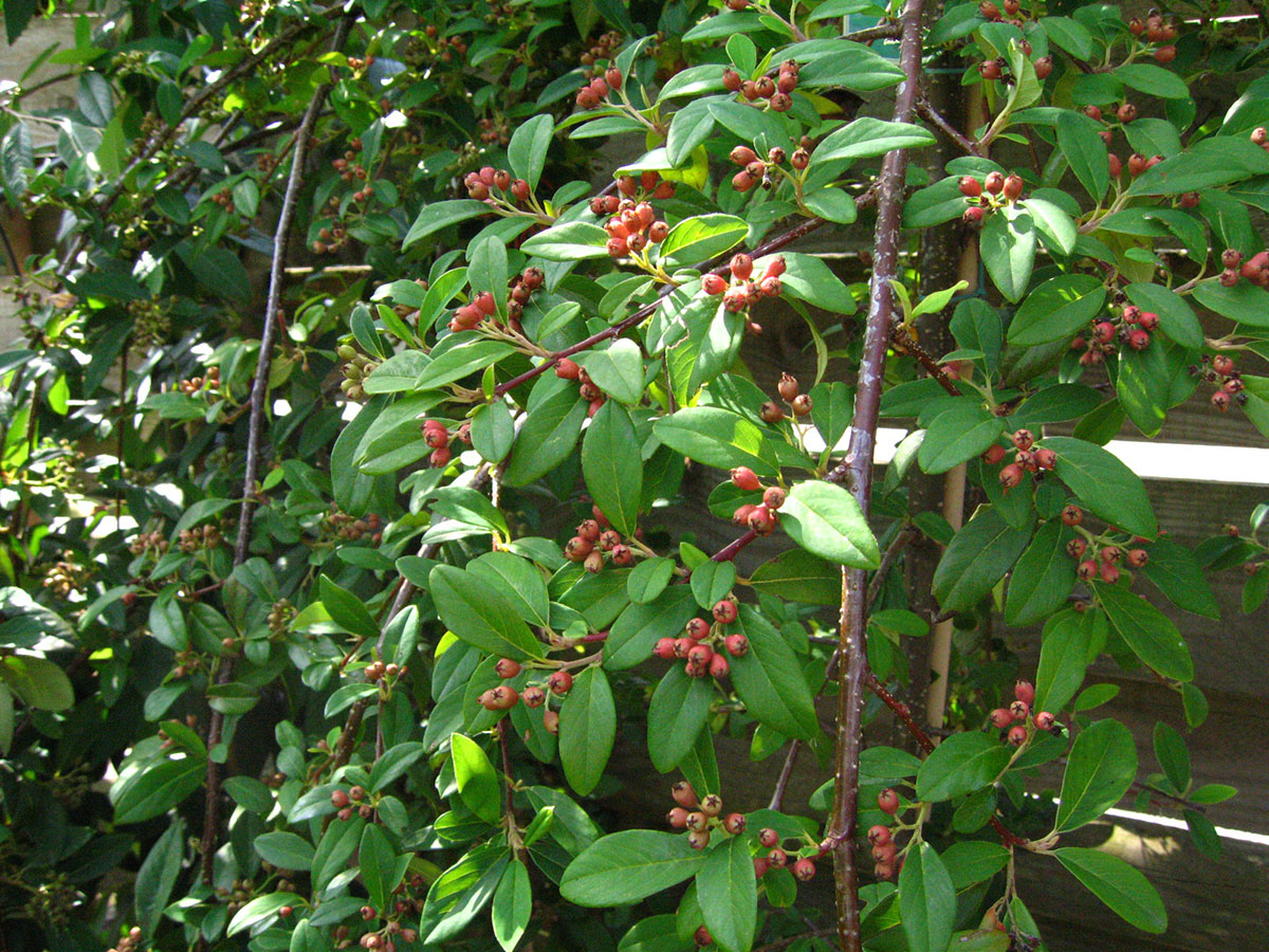 weeping cotoneaster cotoneaster hybridus pendulus 171 chew