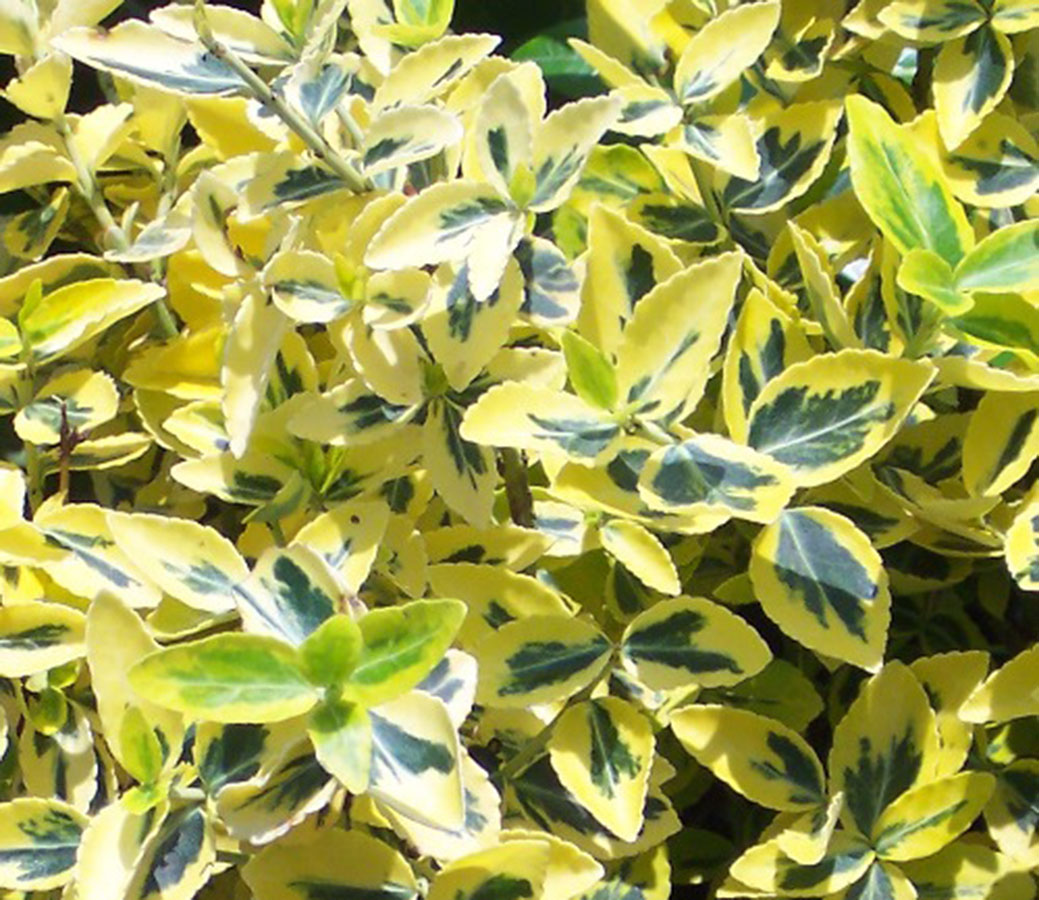 winter creeper euonymus fortunei radicans emerald n gold chew valley trees. Black Bedroom Furniture Sets. Home Design Ideas