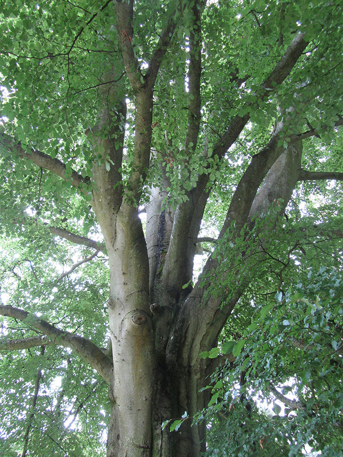 Standard To Metric >> Common Beech - Fagus sylvatica « Chew Valley Trees