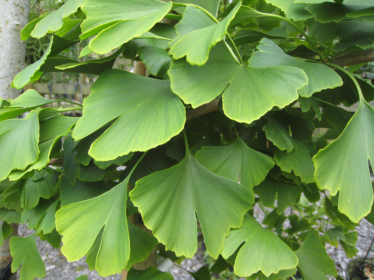 Maidenhair Tree Ginkgo Biloba 171 Chew Valley Trees