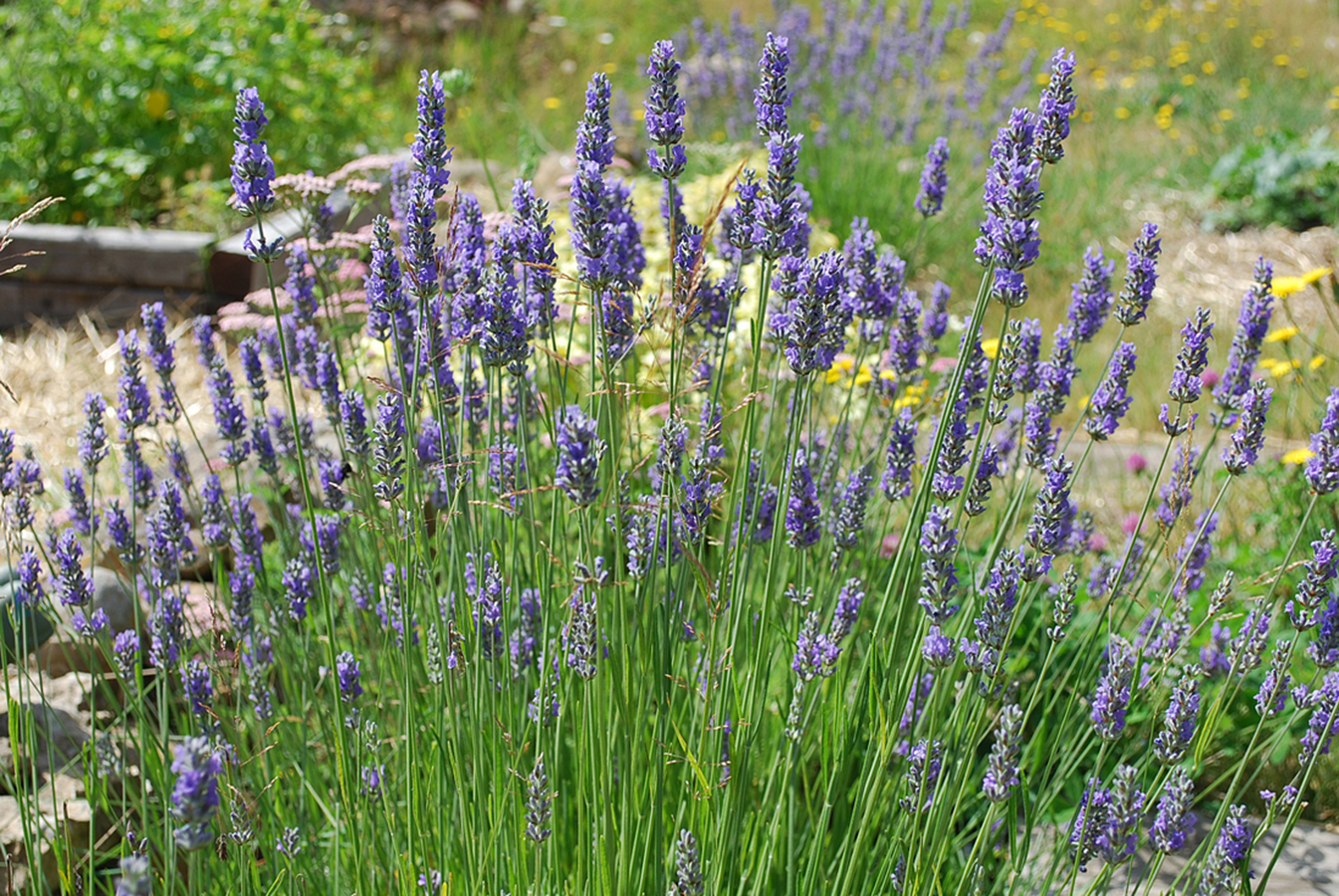 hybrid lavender lavandula intermedia grosso chew valley trees. Black Bedroom Furniture Sets. Home Design Ideas