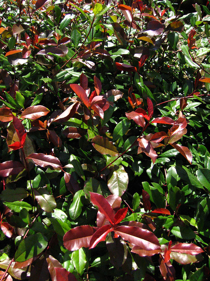 photinia photinia x fraseri red robin chew valley trees. Black Bedroom Furniture Sets. Home Design Ideas
