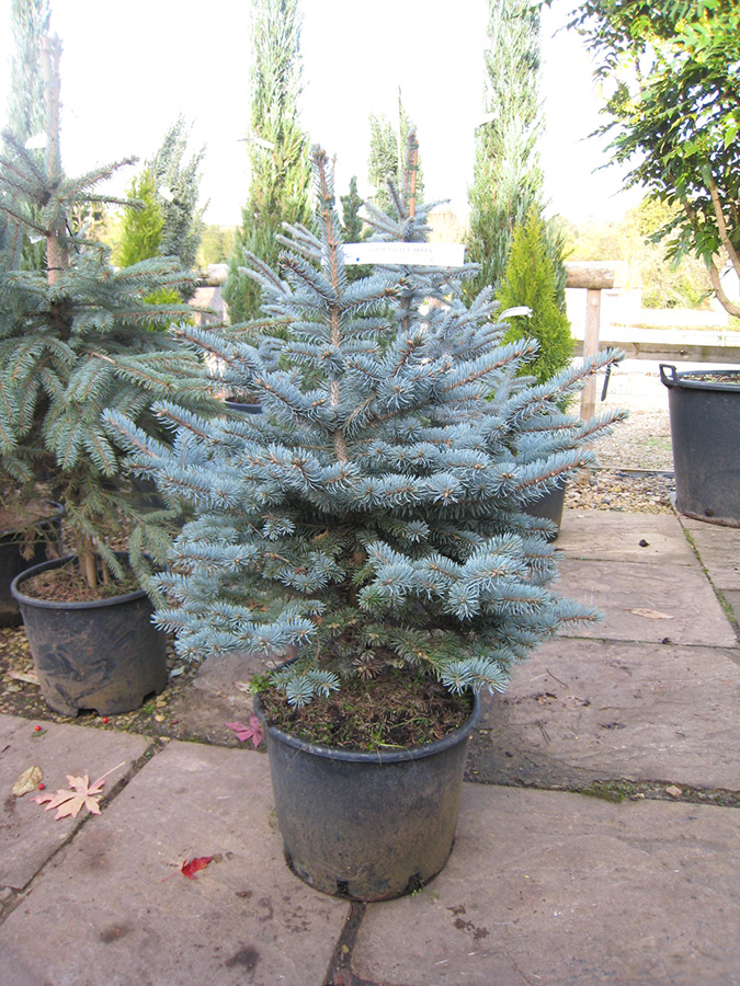 dwarf colorado blue spruce picea pungens glauca globosa. Black Bedroom Furniture Sets. Home Design Ideas