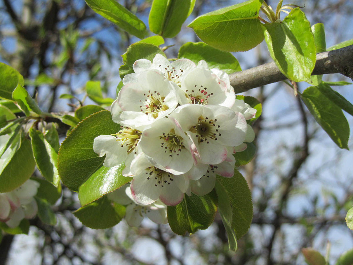 Wild Pear - Pyrus Communis « Chew Valley Trees