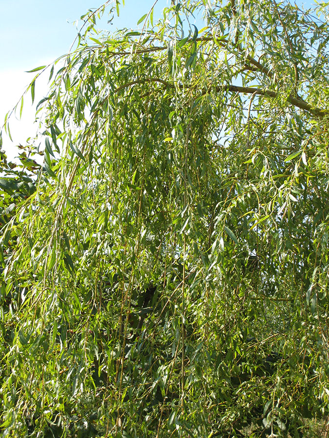 weeping willow salix vitellina pendula chew valley trees. Black Bedroom Furniture Sets. Home Design Ideas