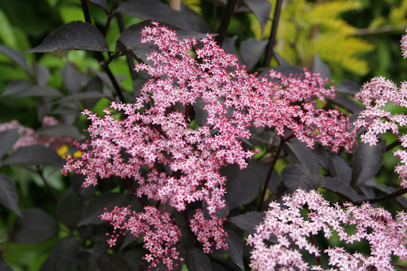 purple leaved elder sambucus nigra black beauty chew. Black Bedroom Furniture Sets. Home Design Ideas