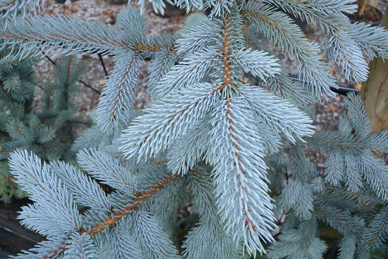 colorado blue spruce picea pungens hoopsii chew valley